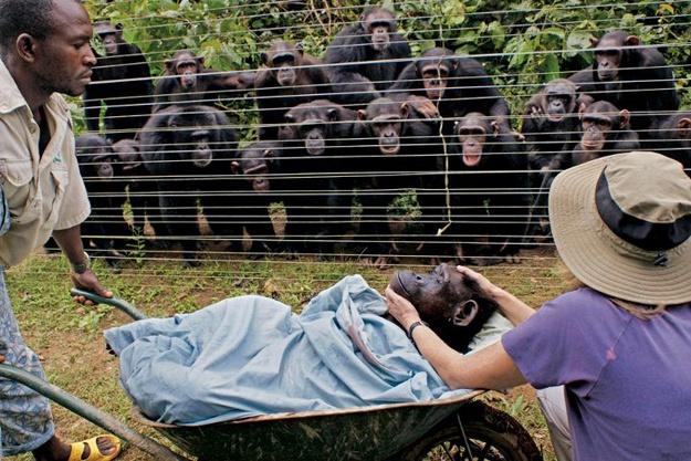 Mélységesen gyászoló csimpánzok