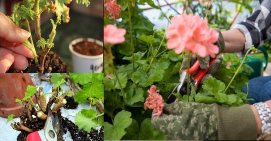 Így kell átteleltetni a muskátlit, hogy jövőre dús virágzata