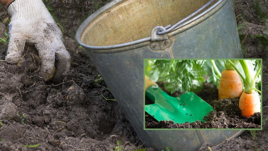 A szomszéd kertész hozta vödörben - rátettem a földre és csak egészséges növényeim vannak azóta