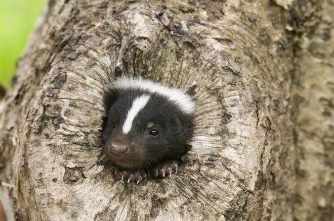 Annyira büdös állat, hogy a természetben nincs is, aki megegye!