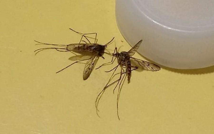 Emberre is veszélyes szúnyogfaj jelent meg Székesfehérváron
