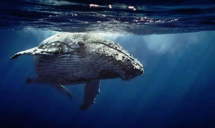 Videón, ahogy a 20 tonnás bálna bekapja a búvárt