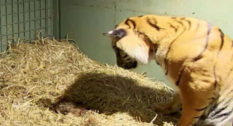 A tigris élettelen iker kölyköt szül, de a gondozók megdöbbennek, amikor az anyai ösztönök csodát tesznek (videó)