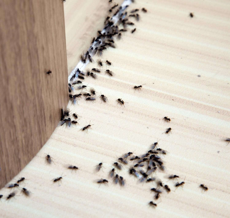 Permetezd körbe a házad ezzel a házi spary-el, és örökre elmenekülnek a hangyák