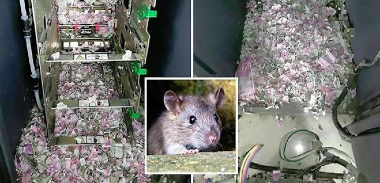 5 millió értékben rágott szét bankjegyet egyetlen patkány