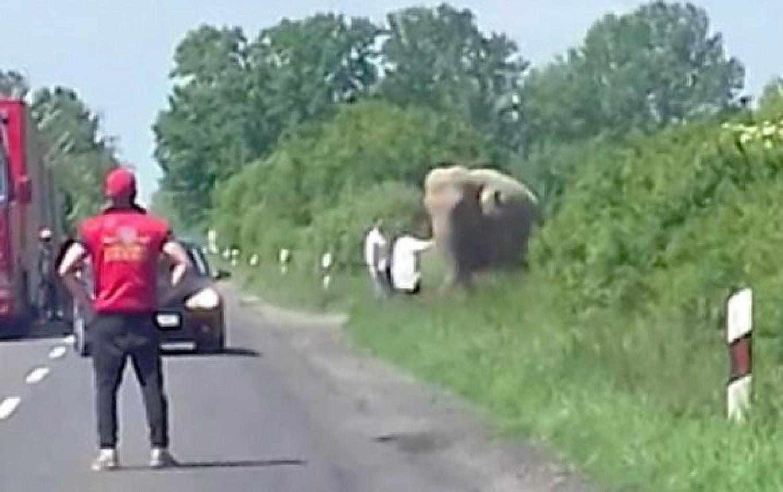 Elefánt kóválygott a 6-os úton (videó)