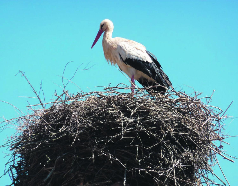 A madármentőket hívták, mert féltek, hogy a gólyák koronavírussal fertőzhetik meg a települést