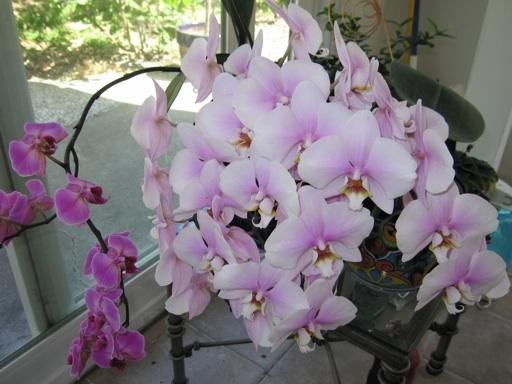 Akár 20 virág egyszerre egy orchideán! Van egy speciális fürdő recepet!