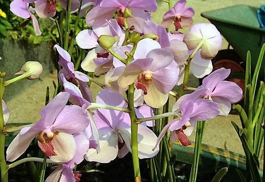 Orchidea a szabadban - Vigyük ki, vagy inkább maradjon bent a lakásban?
