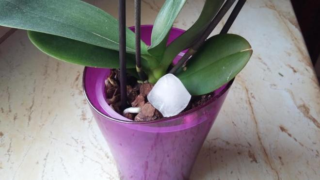 ORCHIDEA KEDVELŐK FIGYELMÉBE: Miért tegyél jégkockát az orchideád földjére