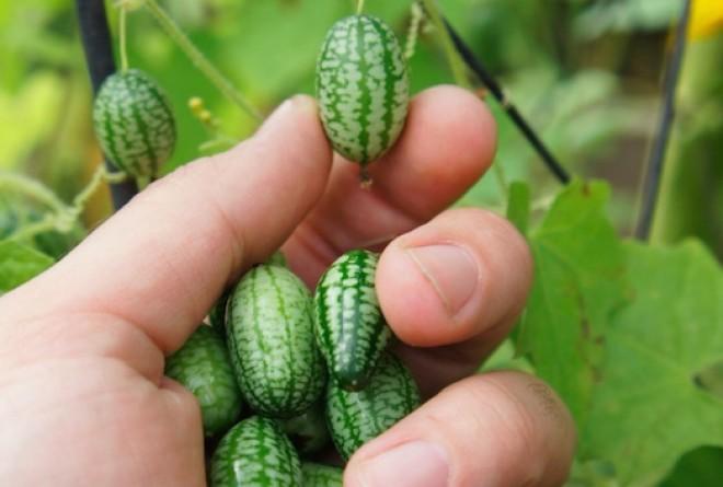 Mini görögdinnye, más néven mexikói egérdinnye