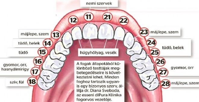 Ha romlik a fogad, valójában a hozzá tartozó szerveddel van baj!