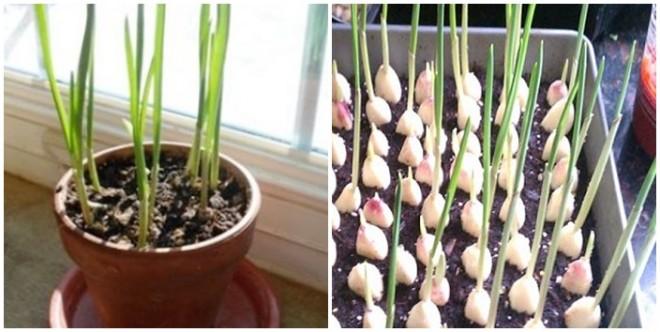 Fokhagyma termesztés akár egész évben a konyhaablakban