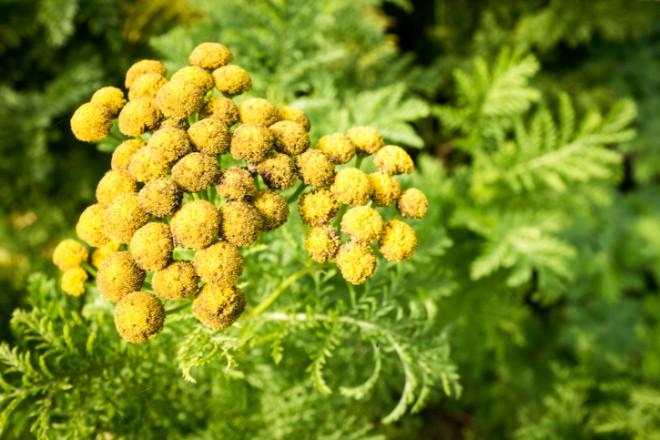 Egy növény, ami szó szerint szétroncsolja a rákos sejteket!