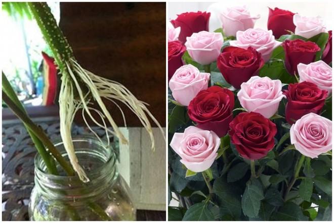 Gyökereztesd az ajándékba kapott rózsaszálakat!