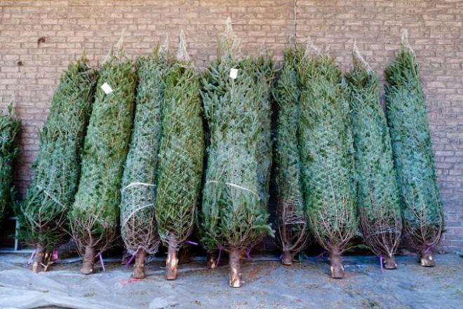 Így válassz karácsonyfát! HASZNOS TIPPEK ÉS TRÜKKÖK
