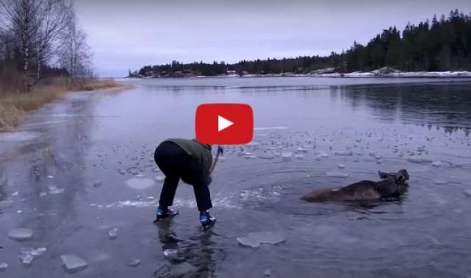 Korizni indultak, de megláttak egy szarvast a jeges vízben (videó)