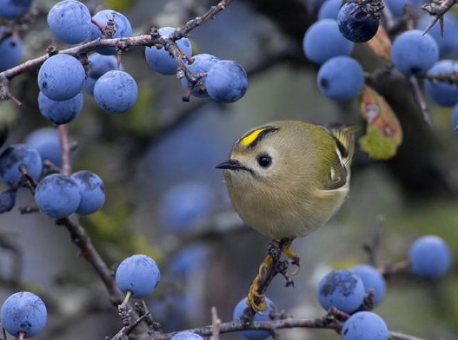 Nincs 5 gramm! Ez a pici madár hazánk legkisebb madara. A zuhanyzás nagymesterei!