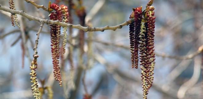 Rossz hír az allergiásoknak! Bizonyos virágporok már most extrém mennyiségben vannak a levegőben!