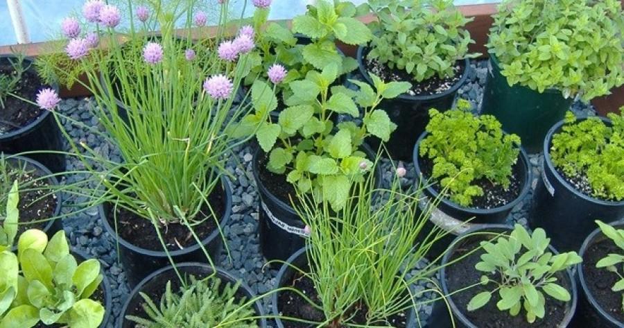 Ezeket a gyógy- és fűszernövényeket évszaktól függetlenül akár a lakásban is termesztheted