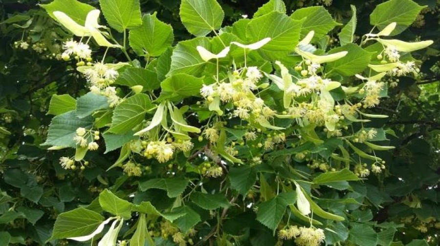 Nagyon finom likőr készíthető a hársfavirágból! A csodálatos borostyán színe és az illata utánozhatatlan!