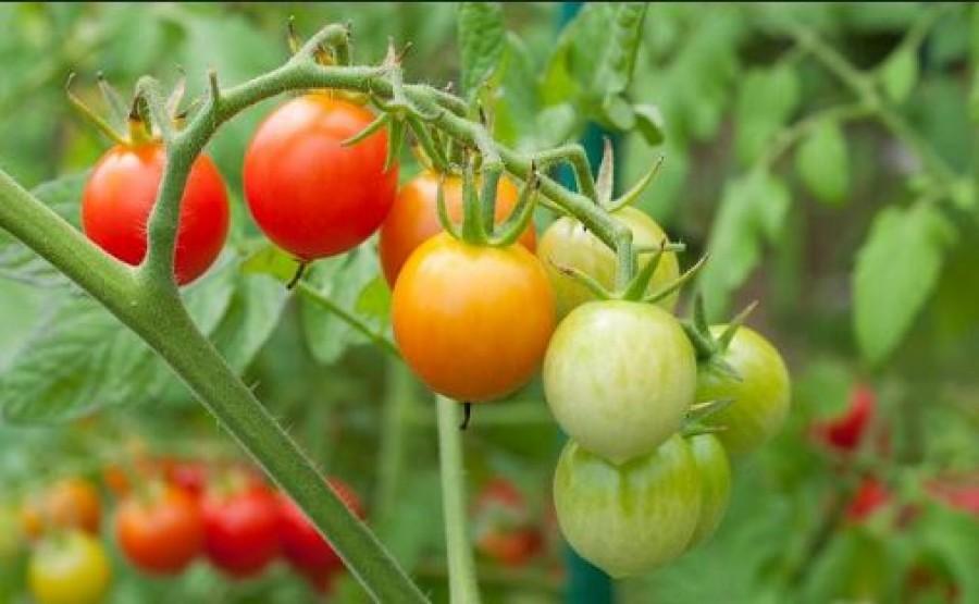 Ezzel az oldattal öntözd a paradicsomot és az uborkát, és ellenáll egy sor betegségnek!