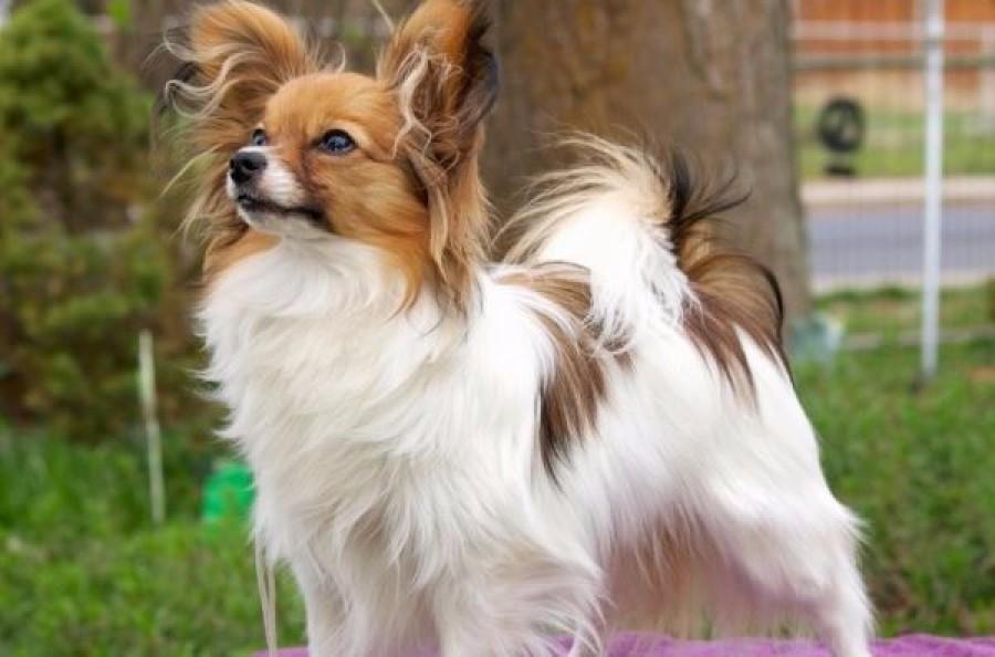 A világ 10 legokosabb kutyafajtája. A te kedvenced is köztük van?