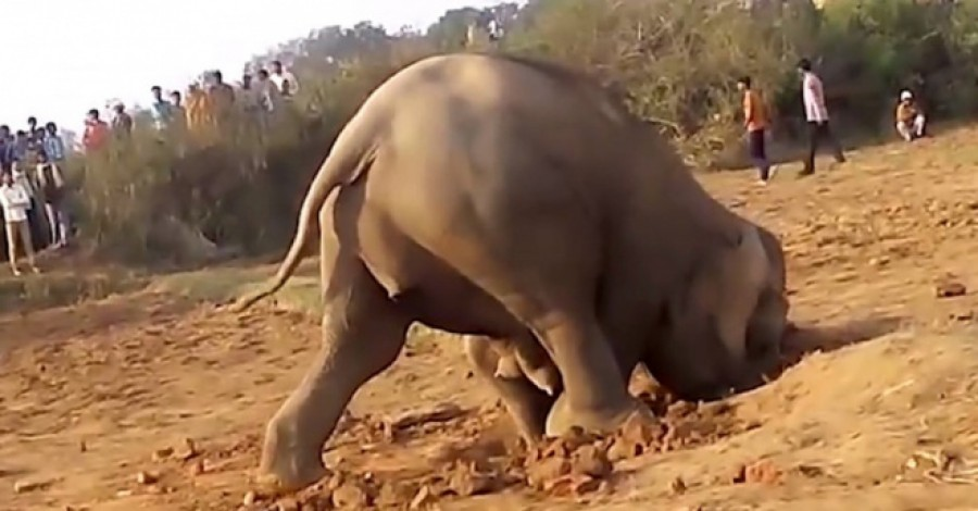 Az elefántmama 11 órán keresztül ássa a gödröt