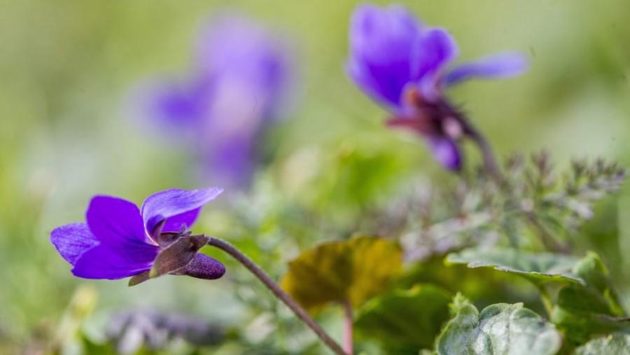 Az enyhe ősz következménye: Virágzó ibolya és orgona színesíti az őszt az Alföldön
