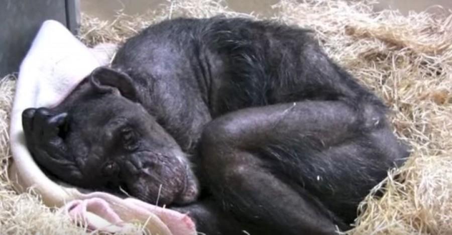 A haldokló csimpánz már elutasítja az ételt is, ám ekkor meghallja gondozója hangját...