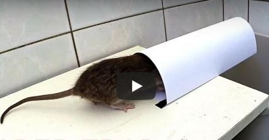 Egy kartonlapból készített pofonegyszerű csapdával megszabadulhatsz az egerektől, patkányoktól