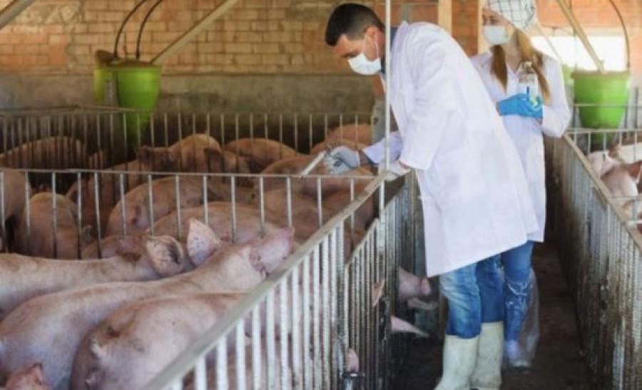 Már bent van Magyarországon az afrikai sertéspestis vírus!