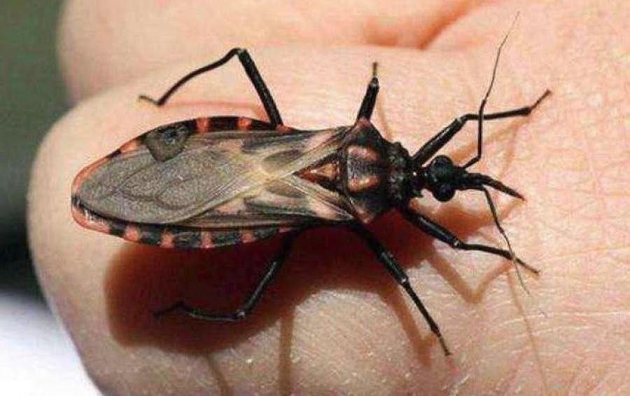 Rendkívül veszélyes rovar jelent meg hazánkban! Ha ilyet látsz, menj olyan messze, amennyire csak tudsz.