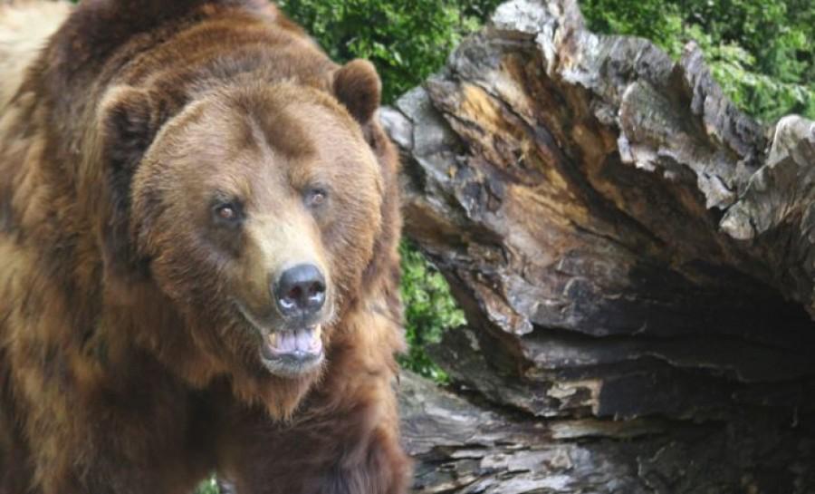 Megtámadott egy medve egy magyar nőt, aki a Csíksomlyói zarándoklaton vett részt