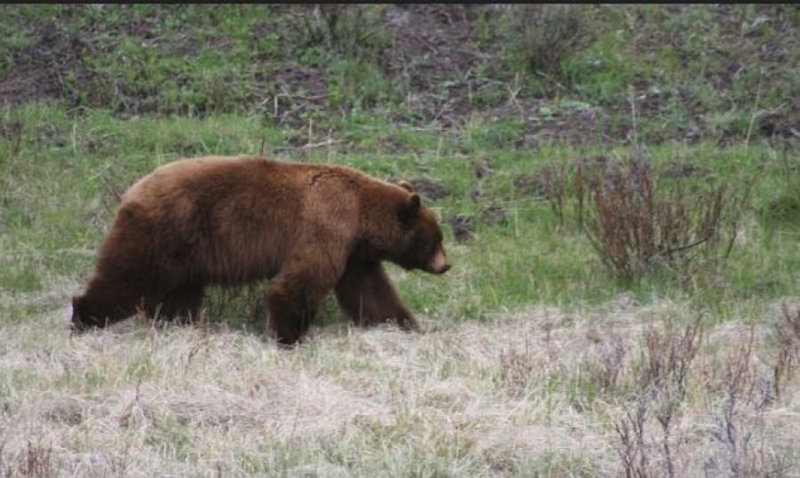 Még mindig szabadon jár a nagy riadalmat okozó barnamedve