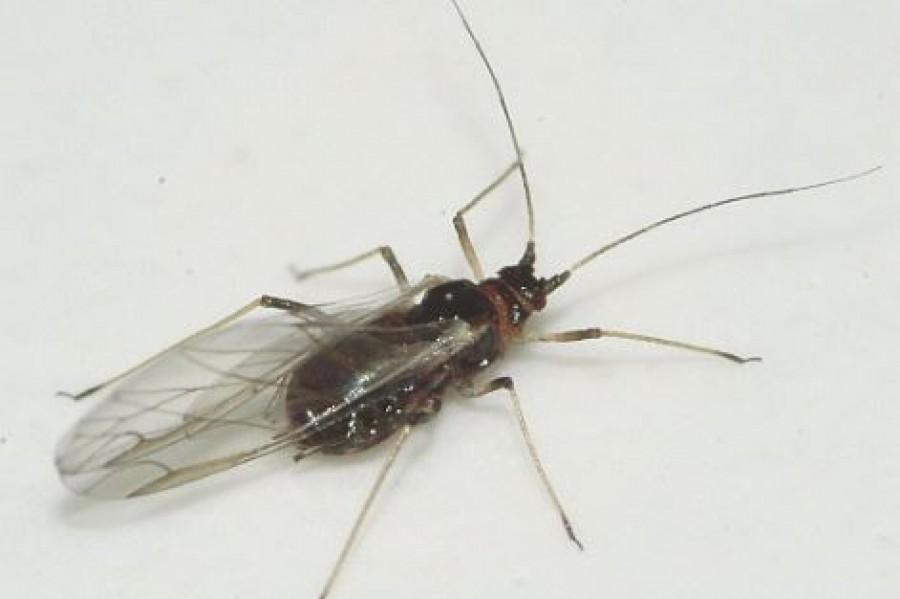 Szinte az egész országot elárasztották az apró fekete rovarok