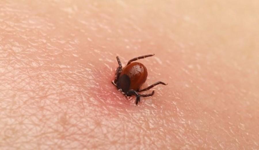 Még több kullancs van idén nyáron, és egy újabb veszélyes betegséggel fertőznek