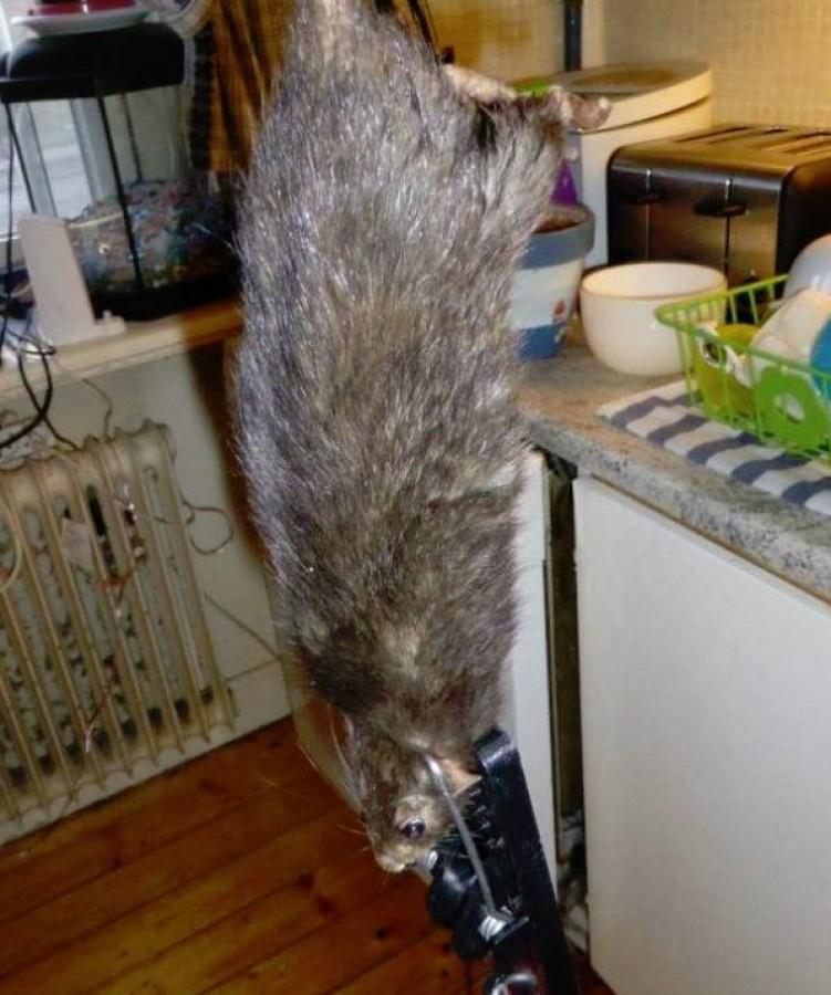 Gigászi patkányt fotóztak a lakásban